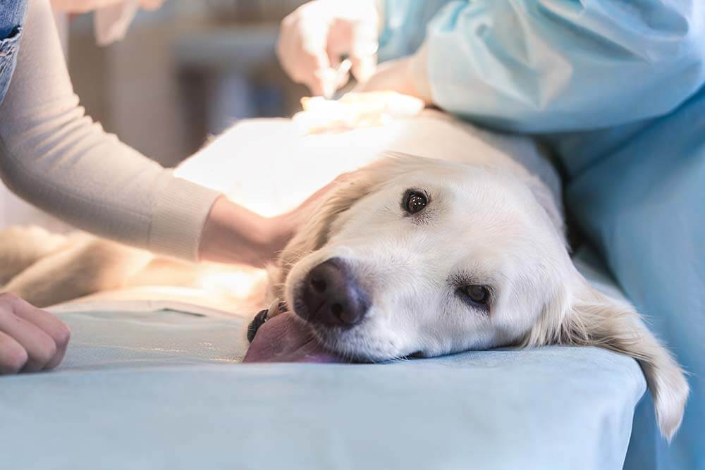 Golden retriever getting procedure done